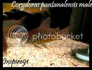 Cory pantanalensis male