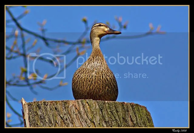 Duck, North Marine Park, South Shields