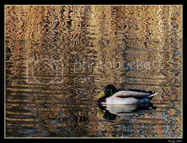 Duck, Boldon Tilesheds, South Shields