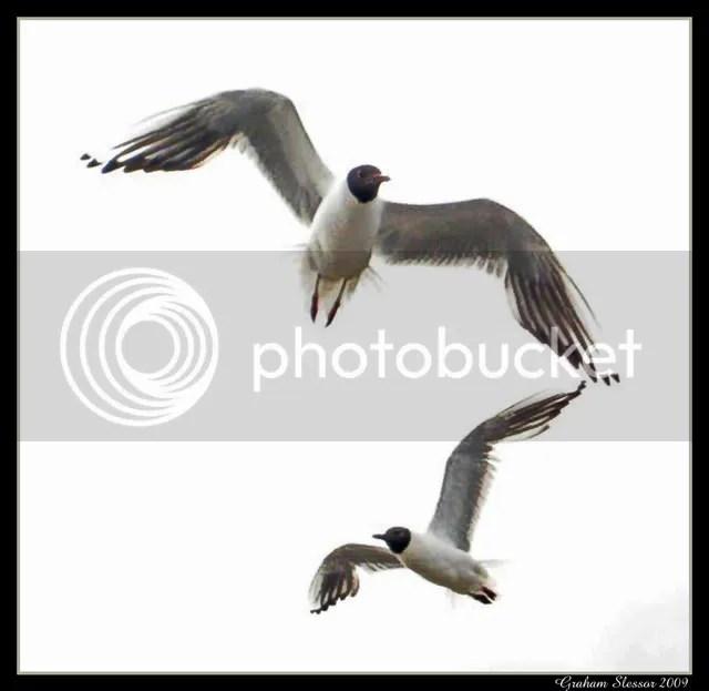 Black headed gulls, South Shields