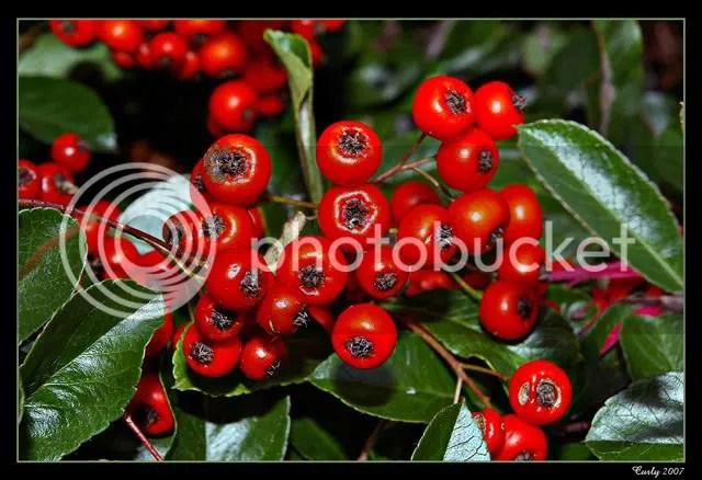 Berries in Westoe Village, South Shields