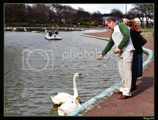 Feeding swans, south marine park, south shields