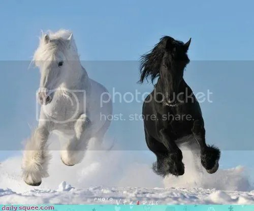 white and black horses photo: Dashing... dashing.jpg