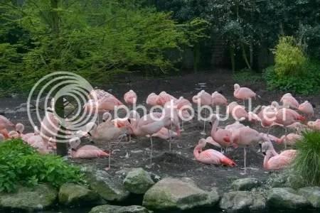 flamingosJohan.jpg picture by corryjohan