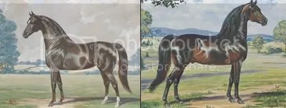 Ideal Morgan mare and stallion, as per the AMHA