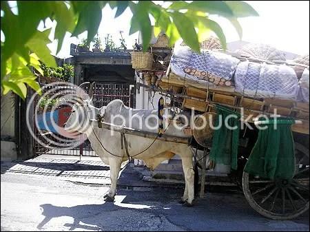 cow caravan
