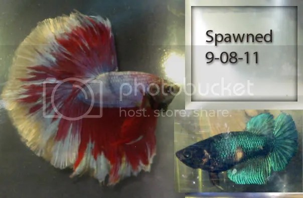 Lavender halfmoon male and super delta turquoise marble female