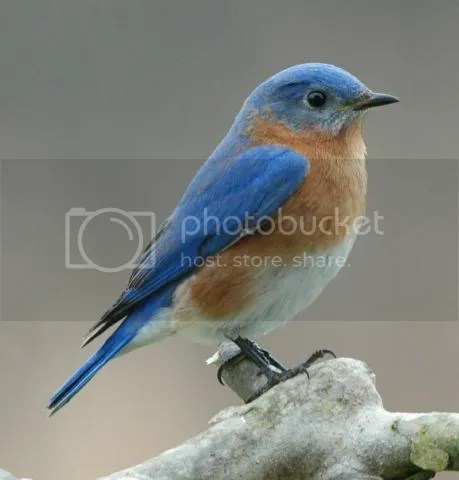 Male Bluebird. This beautiful photo is by Wendell Long