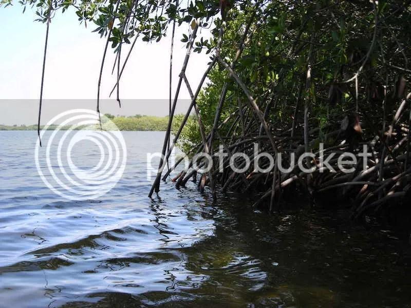 Red mangrove habitat in the Banana River, Cocoa, FL