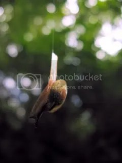 These snails were hanging (by a slime thread) from trees, moving toward the forest floor.  We all spent untold amounts of time trying to get decent photos.