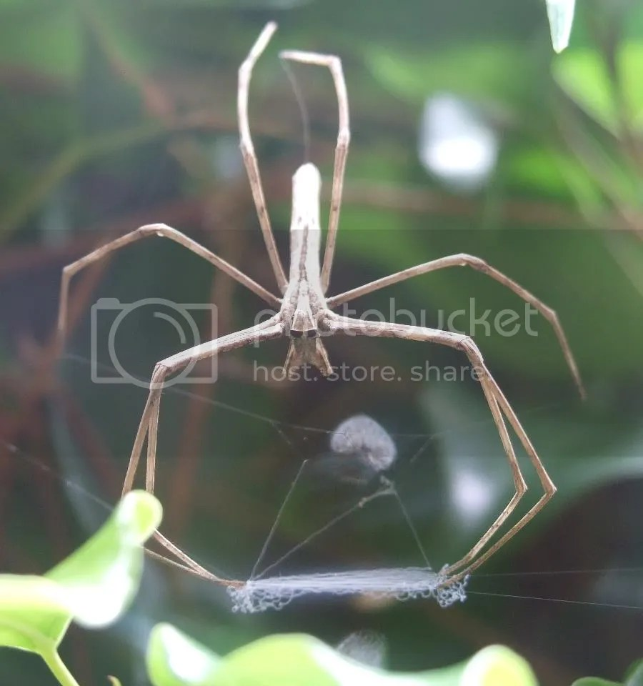 Ogre Faced Spider with net