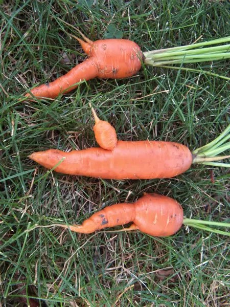 Bugs bunny was very choosy about his carrots