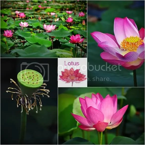 These are lotuses
