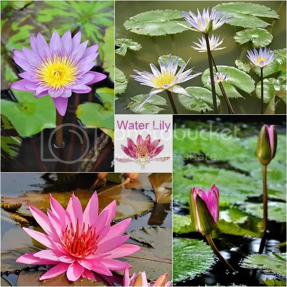 These are water lilies