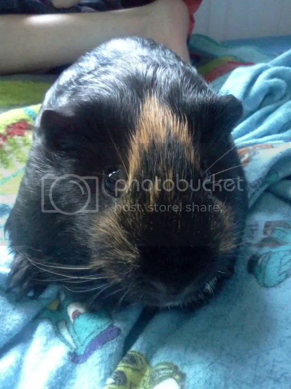 Red, the guinea pig