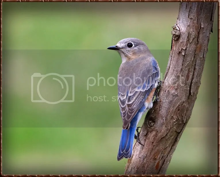 Blue Bird photo B3AT8.jpg