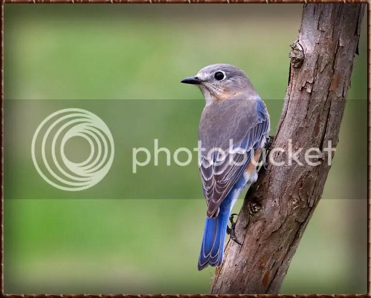 Blue Bird photo B3AT8.jpg