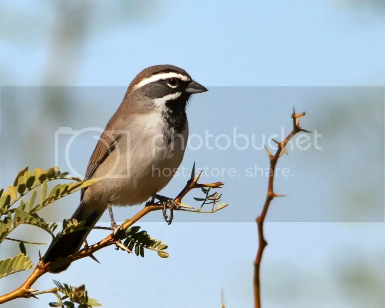 Black-throated Sparrow photo BTSparrow1.jpg