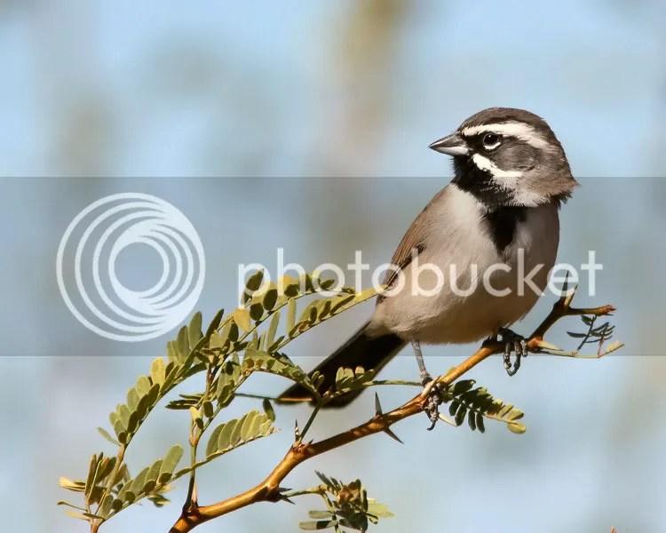 Black-throated Sparrow photo BTSparrow2.jpg