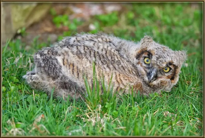 Owl, Baby Great Horned photo BabyGHO.jpg