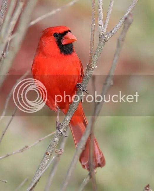 Cardinal photo CARMR.jpg