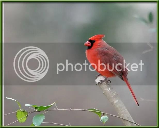 Cardinal photo CM9.jpg