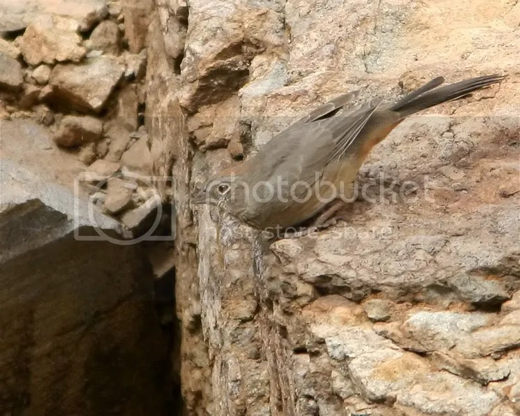 Canyon Towhee photo CTowhee2a.jpg