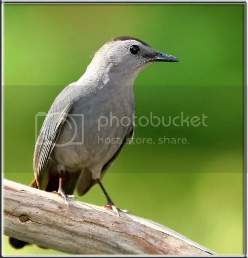 Catbird Gray photo Catbird.jpg