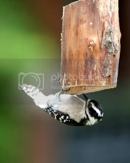 Woodpecker Downy photo Dwood.jpg