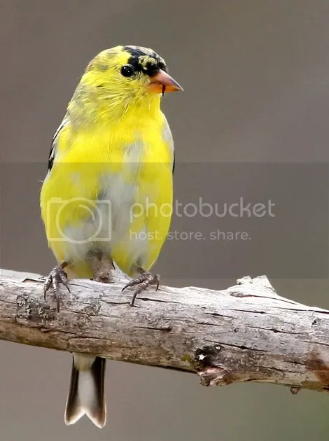 Finch, Gold photo GFINL.jpg