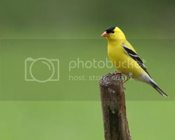 Goldfinch photo GFM.jpg