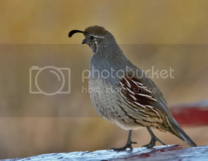 Gambel's Quails photo GQOT.jpg