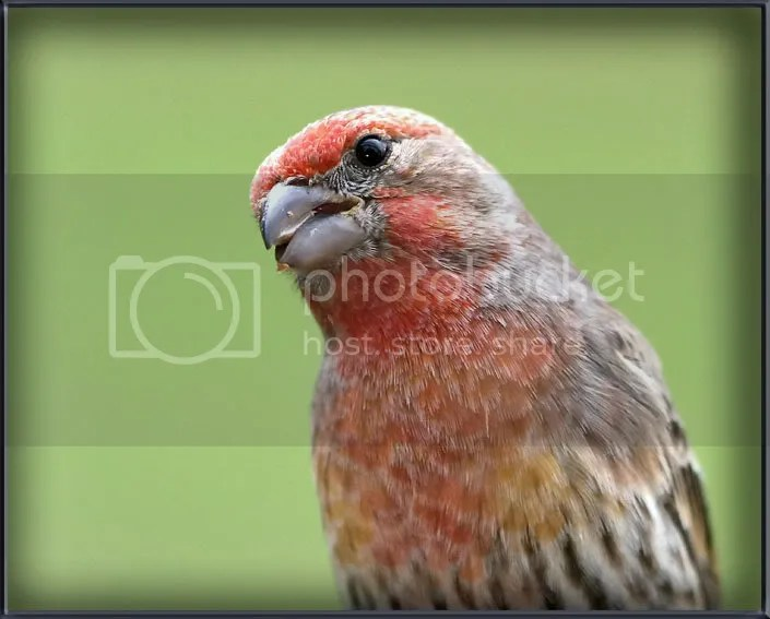 House Finch 2X Color photo HFNYE2C.jpg