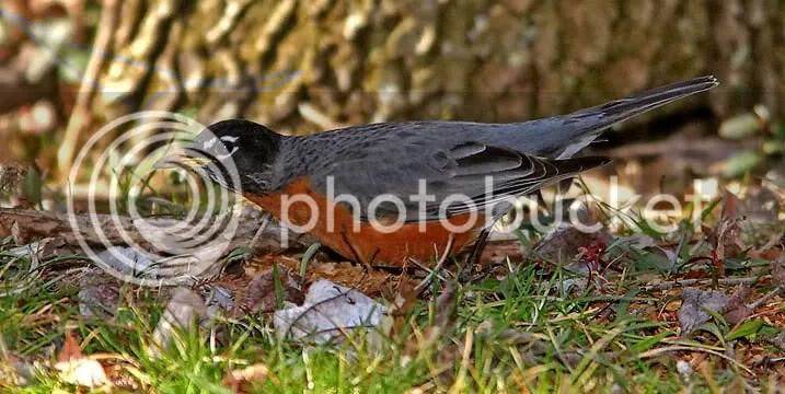 Robin photo IMG_4809.jpg
