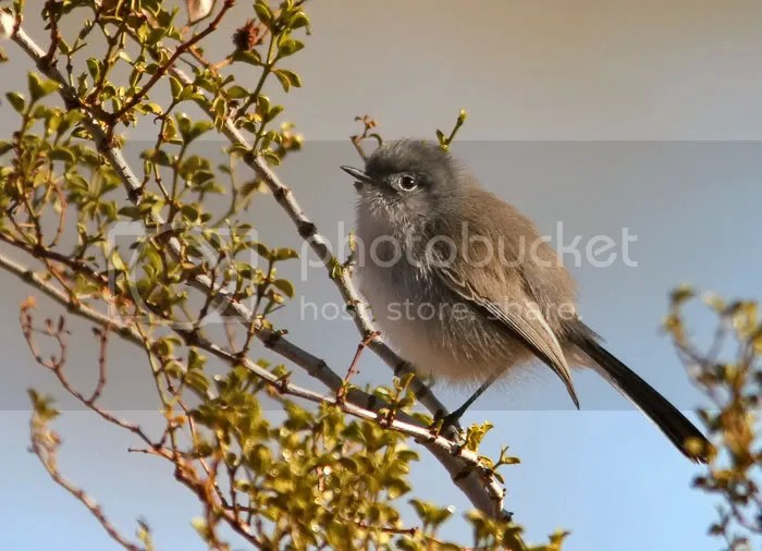 Blue-Gray Gnatcatcher photo IMG_9340.jpg