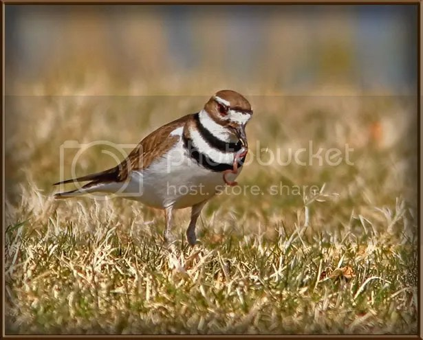 Killdeer photo KillD.jpg