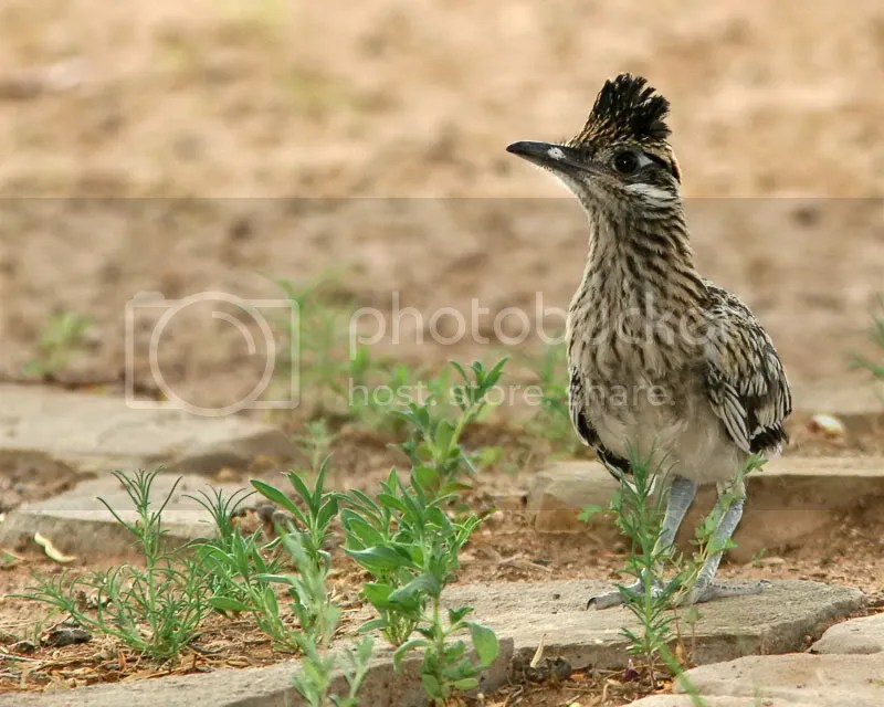 Road Runner photo LittleRRunner.jpg