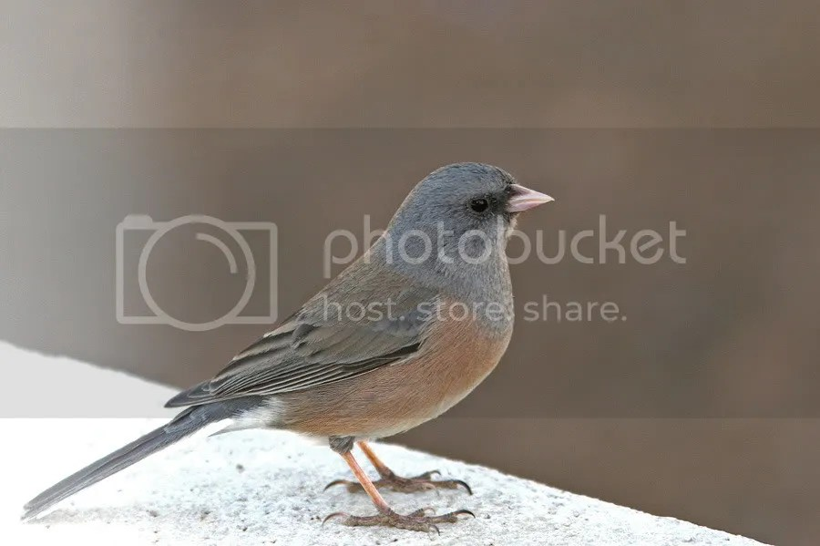 Pink-Sided Junco photo PinkSided1.jpg