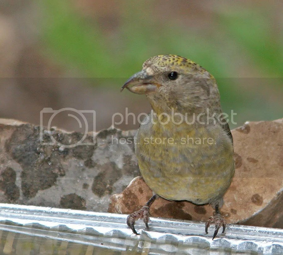 Crossbill Red photo RedCrossbill.jpg