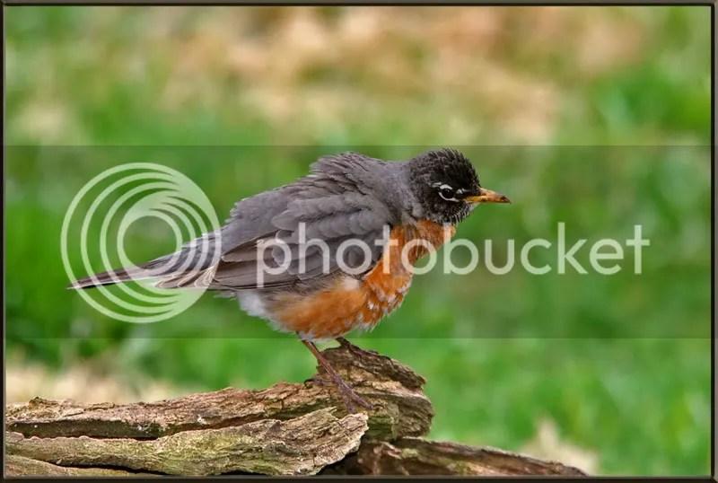 Robin photo Robin12.jpg