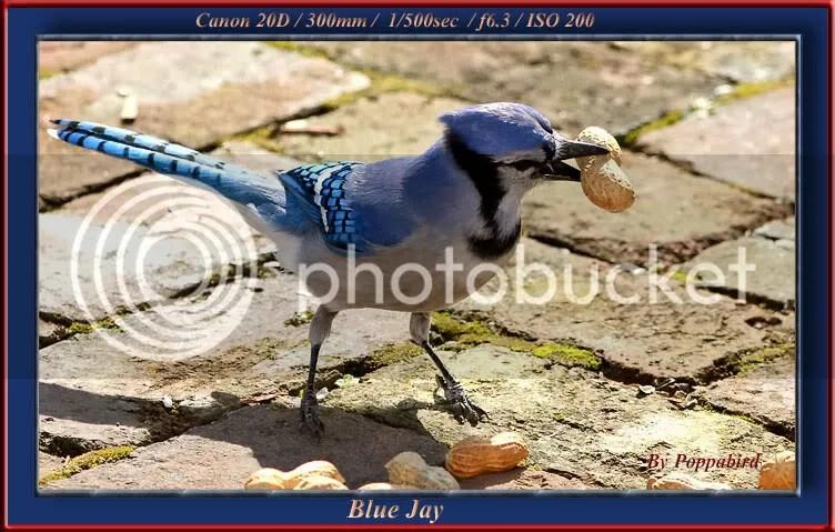 Jay, Blue photo STEALPN.jpg