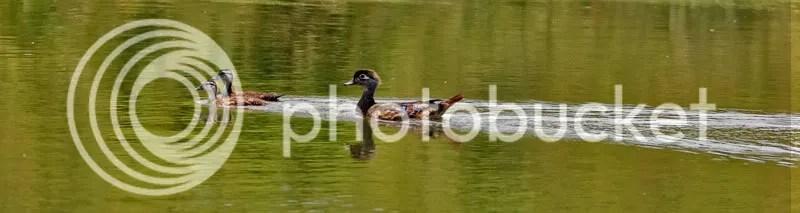 Wood Duck photo TONEST.jpg