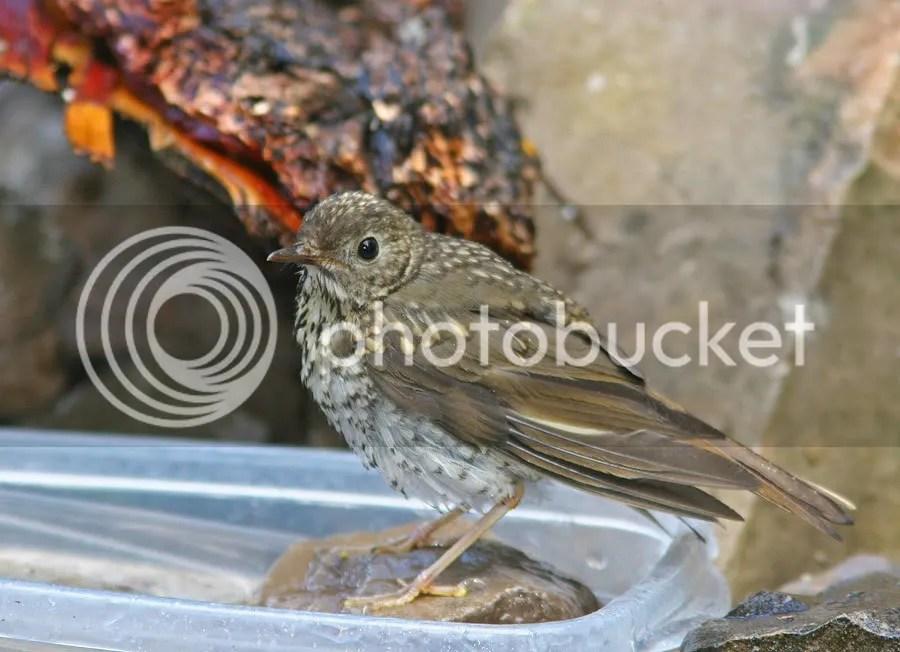 Thrushes Hermit (chick) photo Ts2.jpg