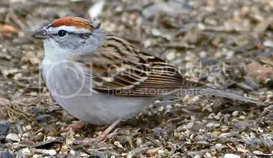 Sparrow Chipping photo WebChip.jpg
