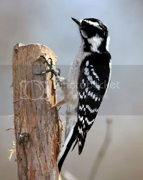Woodpecker photo WoodBd.jpg
