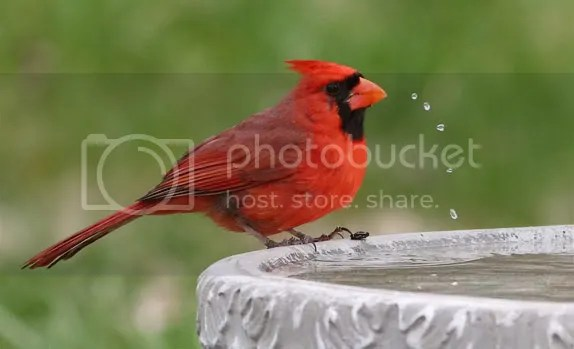 Cardinal, Northern photo carwwarer.jpg