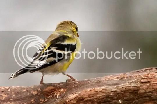 Finch, Gold photo coloron1.jpg