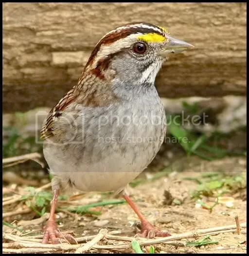 White-throated Sparrow photo cp.jpg