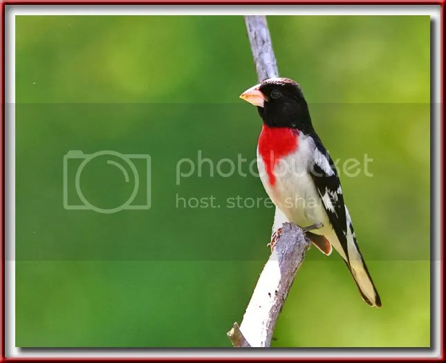 Rose Breasted Grosbeak Male photo mGBOS.jpg