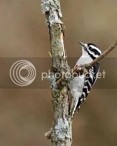 Woodpecker, Downy photo onpole.jpg